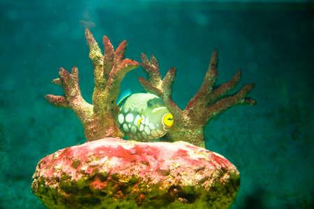 conspicillum: Tropical fish Clown Triggerfish, latin name Balistes conspicillum, lives in Indian ocean, and corals in aquarium.  Stock Photo