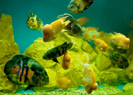 ocellatus: Many tropical fishes in aquarium - cichlasoma citrinellum and Astronotus ocellatus.