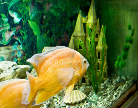 Tropical fish yellow (golden) cichlasoma. photo