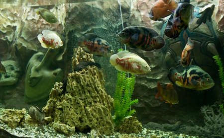 ocellatus: Tropical fish astronotus ocellatus, recorded in aquarium in town Yevpatoria in Crimea.