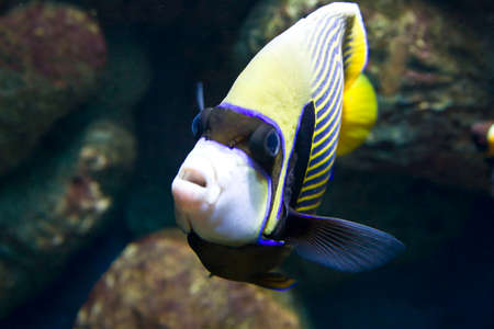 pomacanthus imperator: Tropical fish fish-angel (fish-emperor). Stock Photo