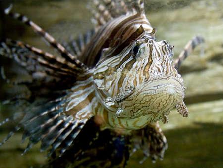 pterois volitans: Tropical fish Fish-zebra, latin name Pterois Volitans.