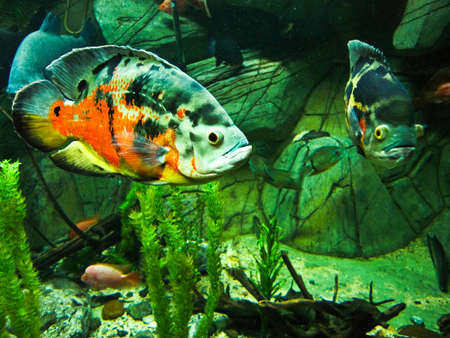 Tropical fish Astronotus ocellatus, one of the variants of colours. Recorded in aquarium in town Yalta, Crimea. Stock Photo - 22980279