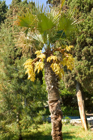 orientated: Palm with yellow flowers standing in park with other plants, vertical orientated image, recorded in town Yalta in region Crimea in Ukraine.