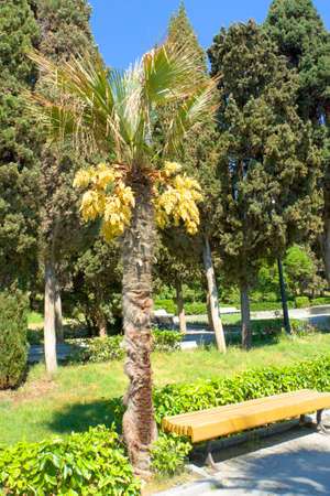 orientated: Palm with yellow flowers in park, vertical orientated image, recorded in town Yalta in region Crimea on Black sea. Stock Photo
