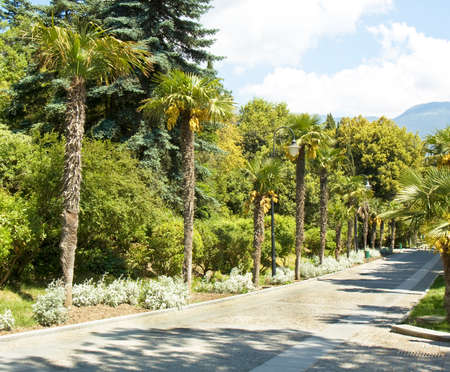 Palm alley in park and hills behind, recorded in town Yalta in region Crimea on Black sea. photo