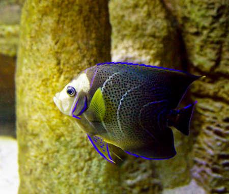 pomacanthus imperator: Pesci tropicali Pesci-angelo, altro nome del pesce imperatore, nome latino Pomacanthus imperator, in acquario Archivio Fotografico
