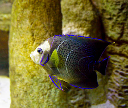 pomacanthus imperator: Tropical fish Fish-angel, other name fish-emperor, latin name Pomacanthus imperator, in aquarium