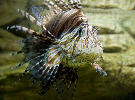 pterois volitans: Tropical Fish-zebra, latin name Pterois volitans Stock Photo