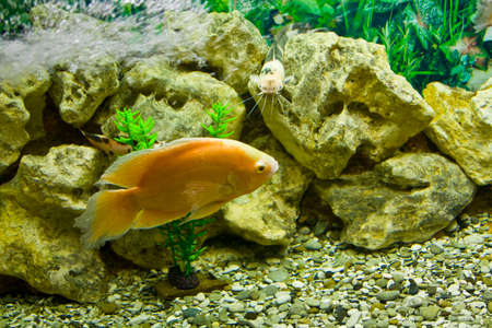 cichlasoma: Tropical fish Golden  yellow  cichlasoma in aquarium
