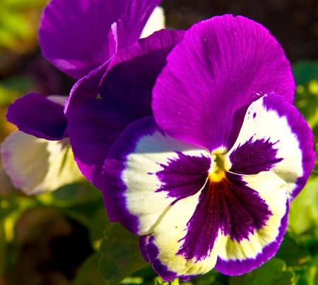 tricolour: Pansy (viola tricolour) of mixed purple and white colour. Stock Photo