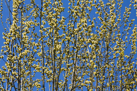 pussy tree: Many branches of pussy willow tree with many flowers on blue sky