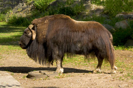 Big musk-ox standing over nature.