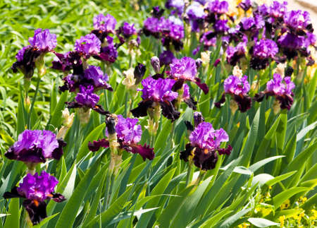 sissy: Flower-bed with many irises of violet and purple colours, sort Carl and Sissy, collection of Nikitskiy botanic garden in town Yalta in Ukraine.