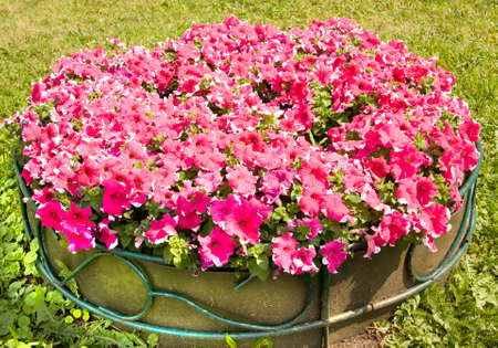 flowerbed: Flowerbed with many petunia of pink colour with white lines.