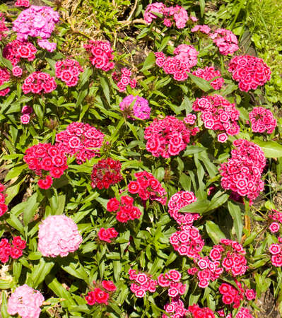crimson colour: Little garden carnation, latin name clavulus, of crimson colour. Stock Photo