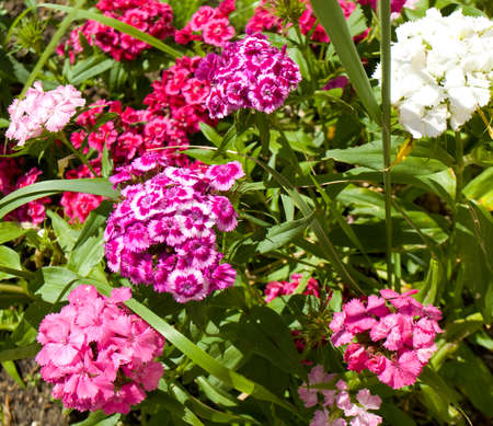 flower bed: Flower bed with many flowers carnation of different colours.