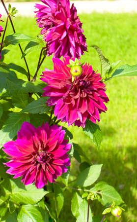 crimson colour: Three big flowers dahlia of crimson (raspberry pink) colour.