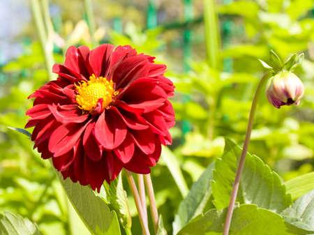 crimson colour: One big flower of dahlia dark red crimson colour