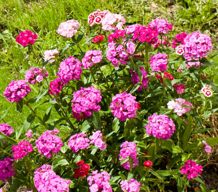 Many flowers carnation of pink colour on flower bed stock photo many flowers carnation of pink colour on flower bed stock photo 43991117 mightylinksfo