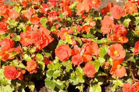 flowerbed: Flowerbed with many flowers begonia of red colour.