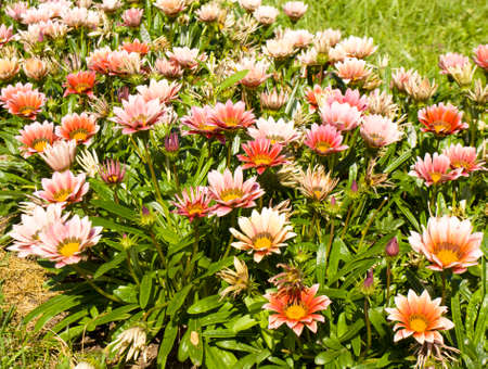 flowerbed: Flowerbed with many flowers gazania of pink colour.