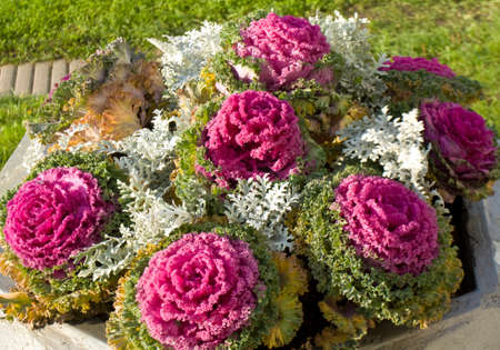 flower bed: Pink decorative cabbage on flower bed.