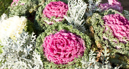 flowerbed: Decorative cabbage of pink and white colours on flowerbed. Stock Photo