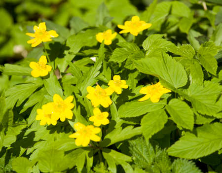 recorded: Few wild forest first spirng flowers buttercups yellow-cups, recorded in forest.