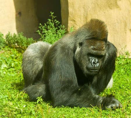 lowland: Big black Western lowland gorilla.