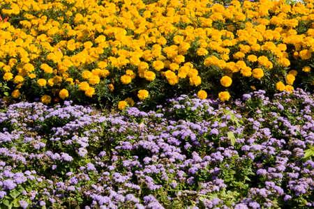 massif de fleurs: Parterre de fleurs avec beaucoup de fleurs d'orangers et de soucis areratum bleu.