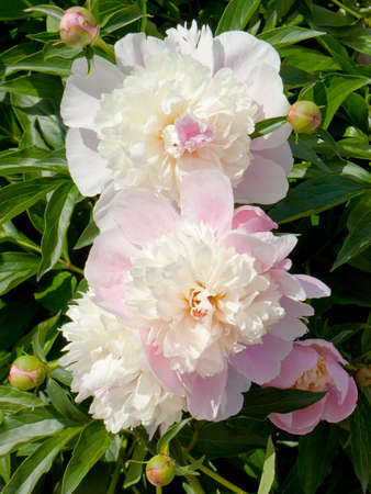 orientated: Two big peonies of white and pink colours, vertical orientated image.