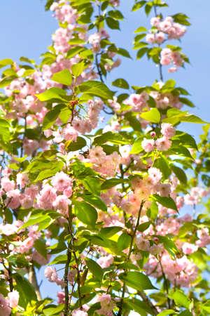 primus: Flowers of one of variants of Japanese pink bird cherry tree on blue sky, latin Prunus serrulata Primus serrulata