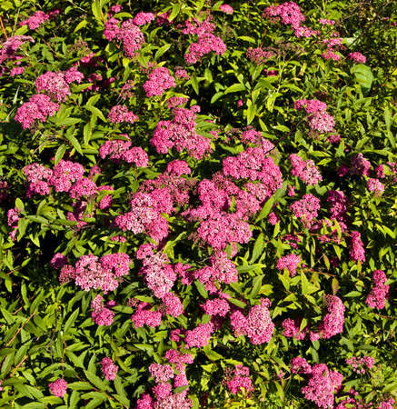 Japanese spirea of pink colour shrub with flowers stock photo japanese spirea of pink colour shrub with flowers stock photo 43991965 mightylinksfo