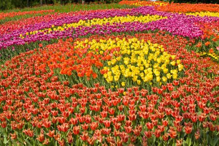 yelow: Big field of many tulips of different colours - red, yelow, purple.