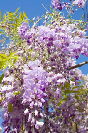 wistaria: Wistaria flowers on blue sky vertical.