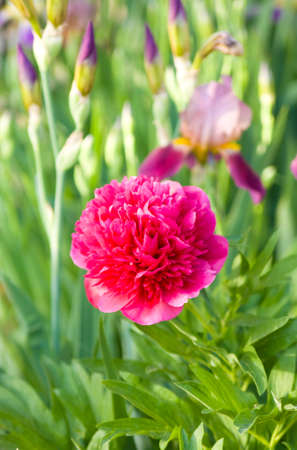 purple irises: Crimson peony with purple irises in garden.
