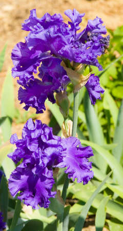 orientated: Blue irises, sort Riversong, vertical orientated image. Stock Photo