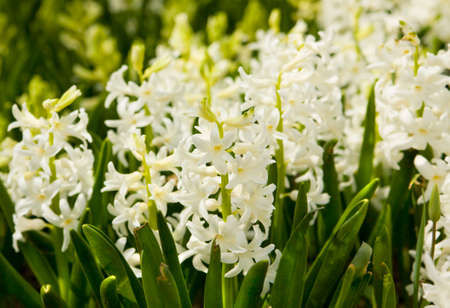 flower bed: Flower bed with many hyacinth flowers of white colour.