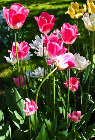 vertical orientation: Flowerbed with pink and white tulips, vertical orientation.