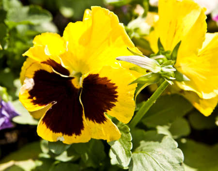 tricolour: Pansy viola tricolour of yellow colour on flowerbed. Stock Photo
