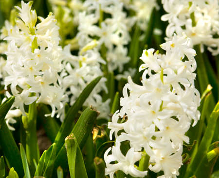 Few flowers of hyacinth of white colour on flower bed stock photo few flowers of hyacinth of white colour on flower bed stock photo 48699157 mightylinksfo
