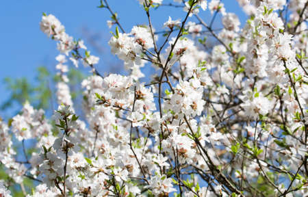 many branches: Many branches of cherry in blossom with many white flowers on blue sky.