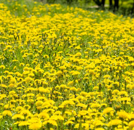 orientated: Meadow with many yellow dandelions, vertical orientated image.