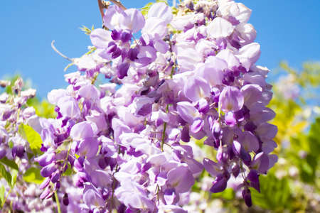 wistaria: Flowers wistaria on blue sky closely. Stock Photo
