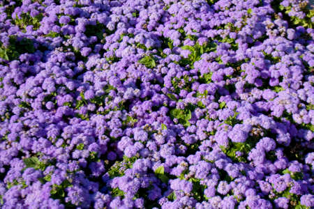 Flower bed with many flowers ageratum of blue colour.