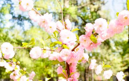 primus: Flowers of one of variants of Japanese pink bird cherry tree, latin Prunus serrulata Primus serrulata
