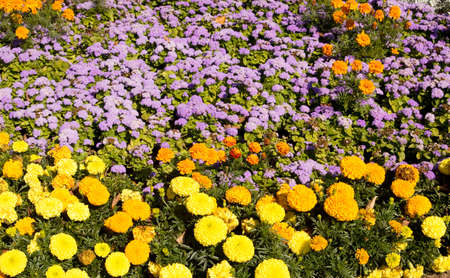 flowerbed: Flowerbed with orange and yellow marigolds and blue ageratum.