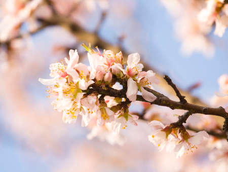 closely: Branch of almond tree in blossom with pink flowers on blue sky, closely.