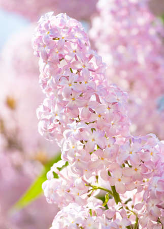 vertical orientation: One lilac branch of purple colour vertical orientation, close view.